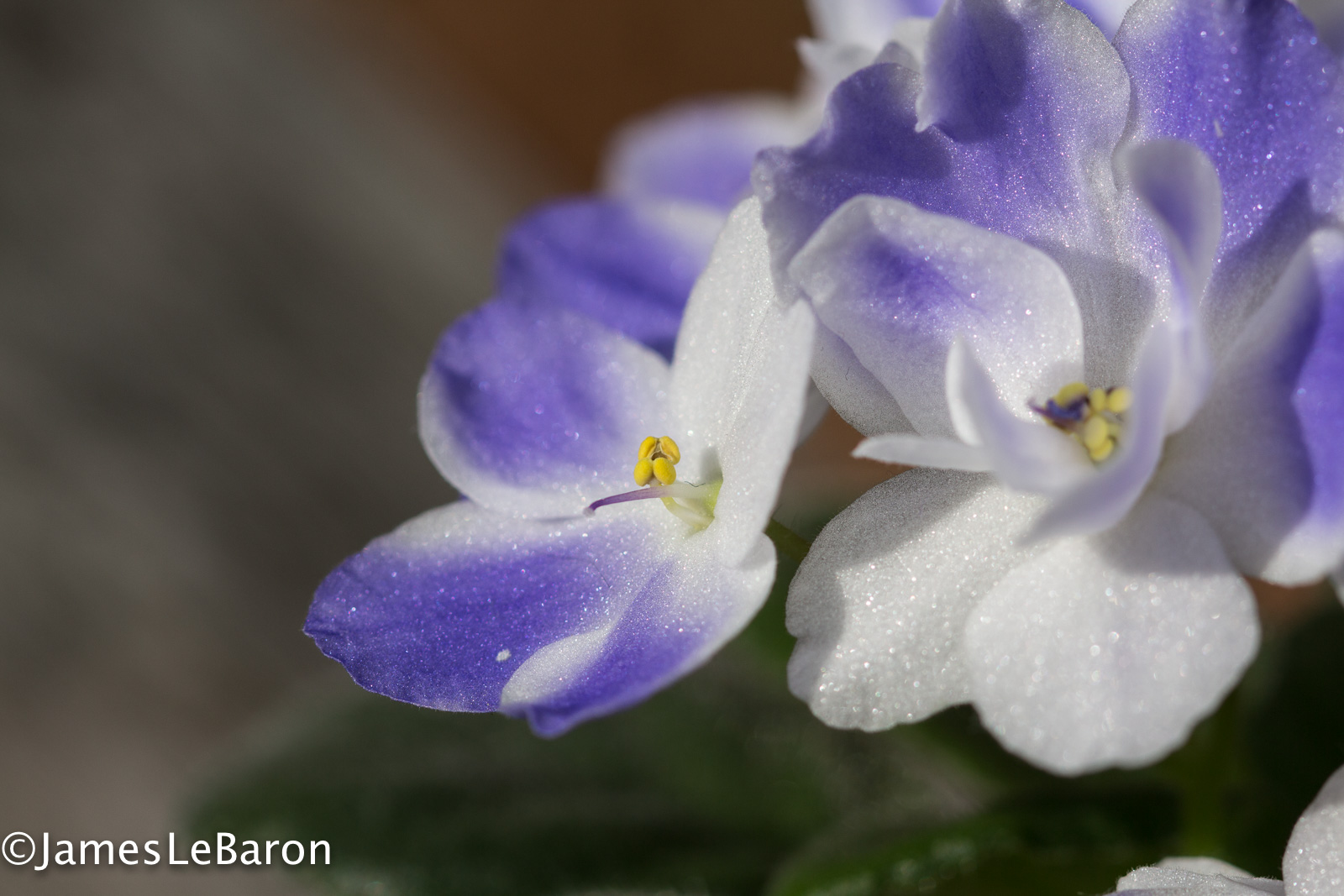 127/365: New colors on the African violet